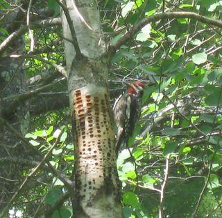 Male woodpecker sun