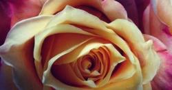 Cr goldandpink roses